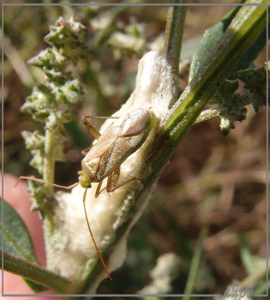1640blindwants Adelphocoris-lineolatus