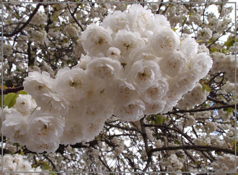 Witte bloesem Olympus XZ1