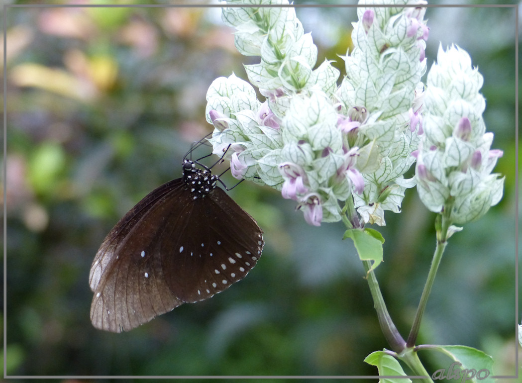 20140624_1603Oleandervlinder_witte_bloemen_Emmen2 Lumix