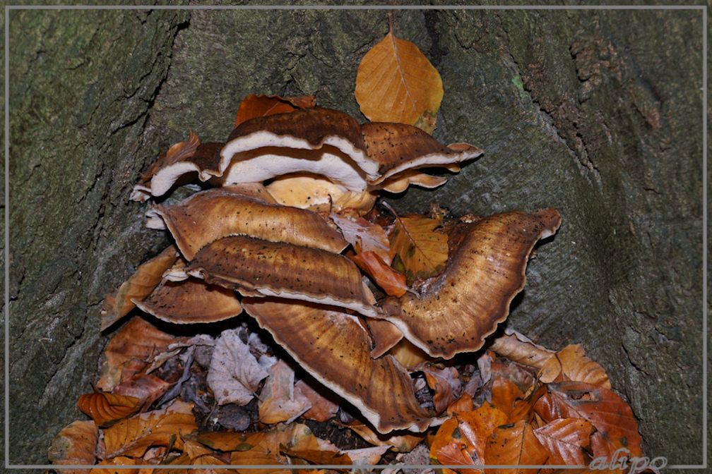 20151102_1228boompaddenstoelen_onbekend_Elswout