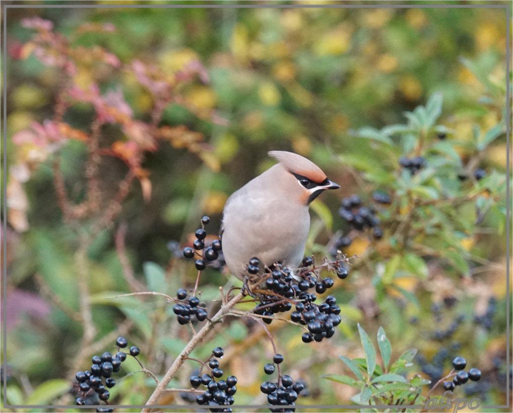 20161105_1647pestvogels_heerenduinweg-20