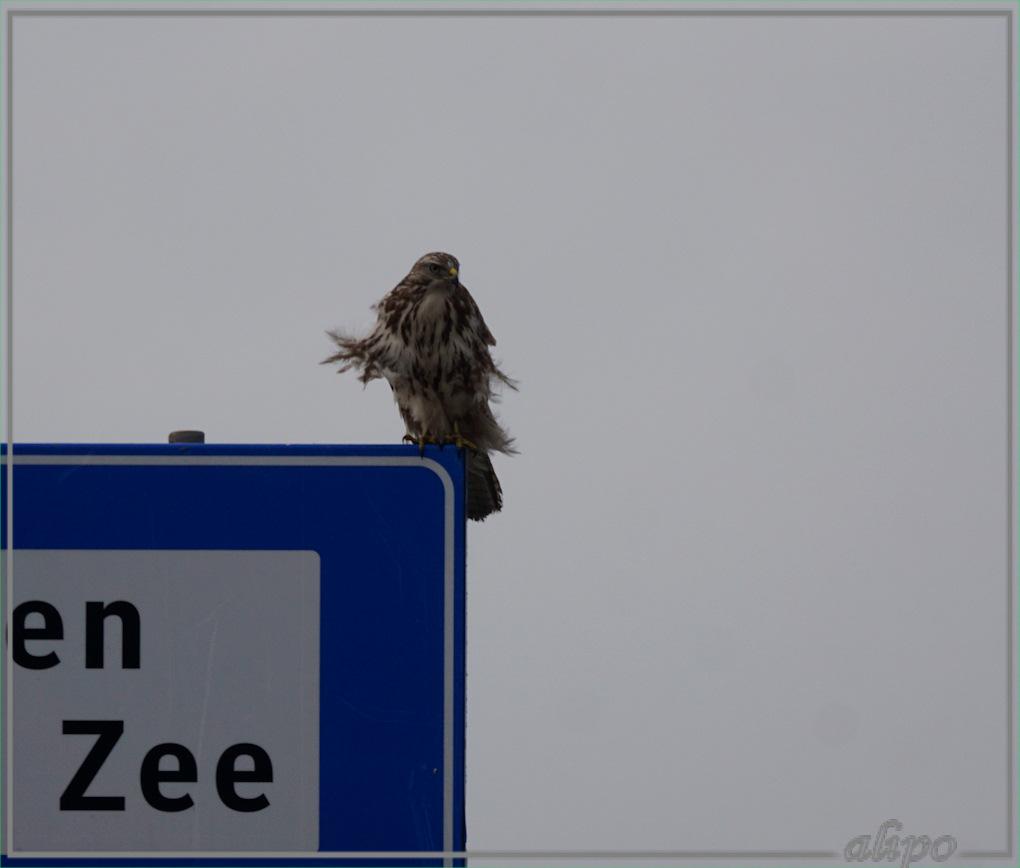 20161218_1356buizerd_kromhoutstraat-3  Sony A77ii 400mm
