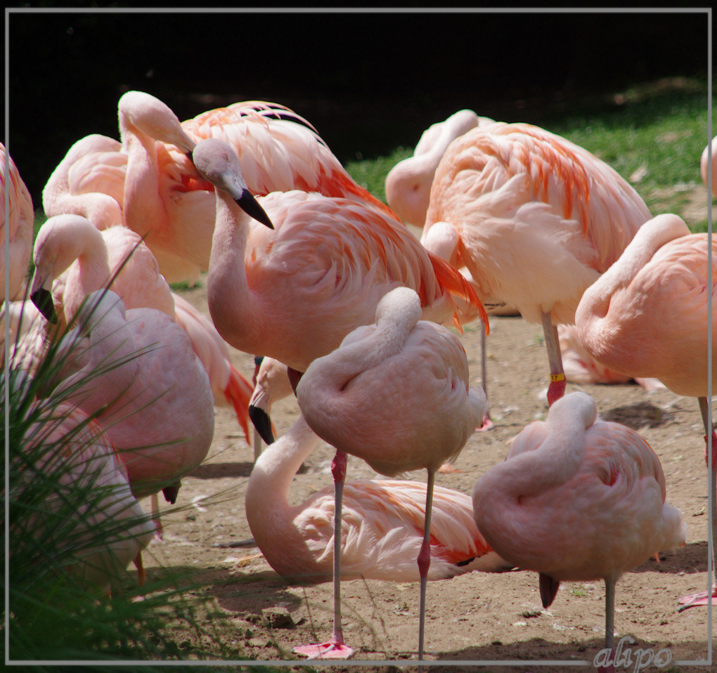20140624_1414flamingoos_dierenpark_Emmen Pentax K5 18-200mm