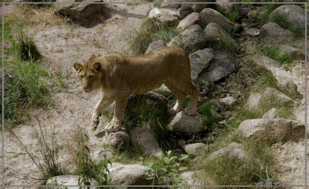 20140624_1417leeuwin_dierenpark_Emmen2