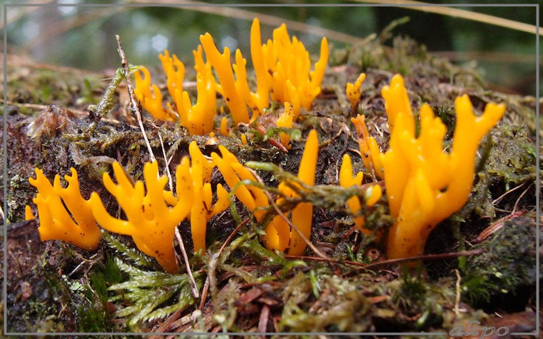 Gele koraalzwammetjes