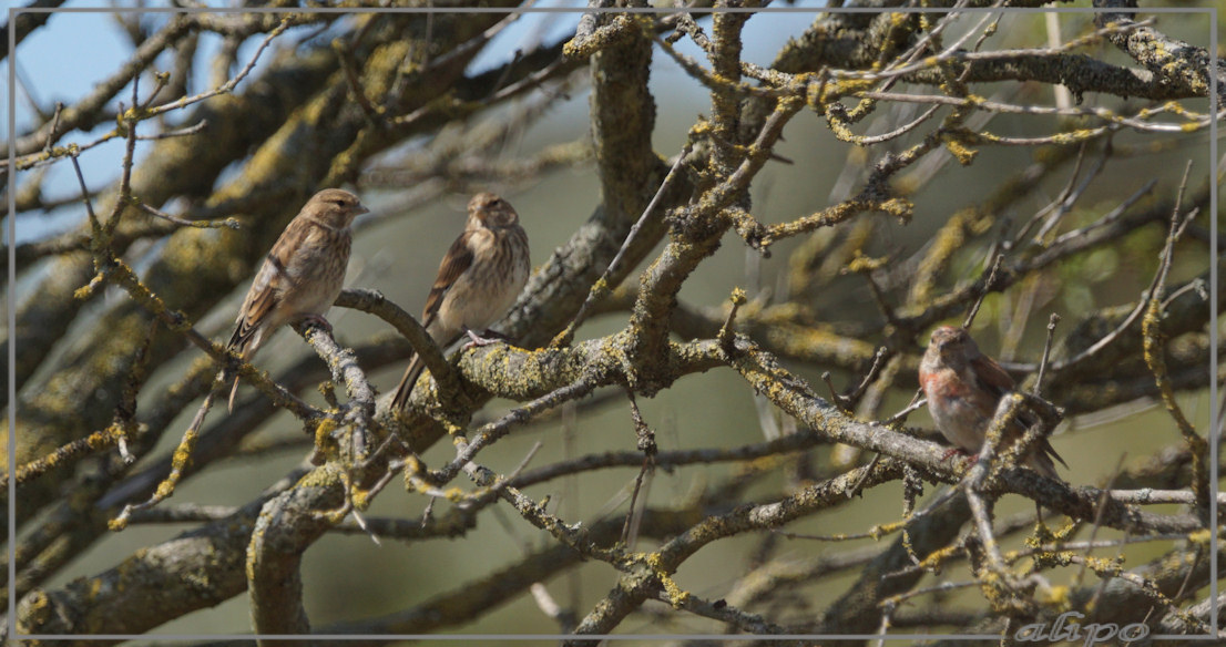 20150807_1508kneutjes_Herenduinen Sony A77ii 400mm