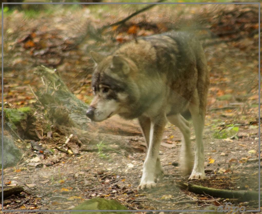 20151008_1623wolf_Ouwe_Hands_Dierenpark_Grebbeberg_Rhenen4