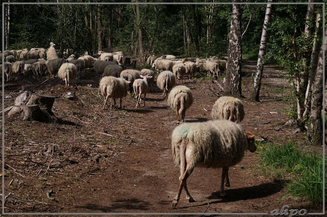 20160608_1649kudde_schapen_Mokerheide (5)