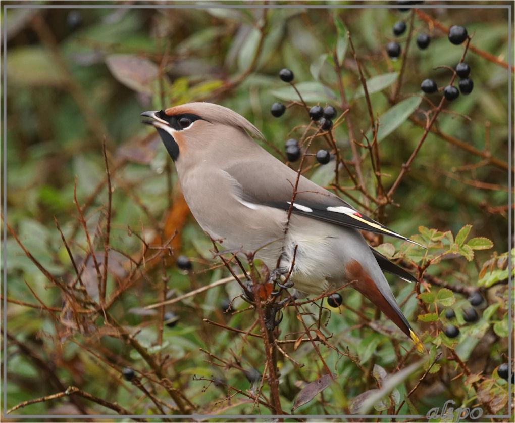20161109_1438pestvogels_heerenduinweg-6
